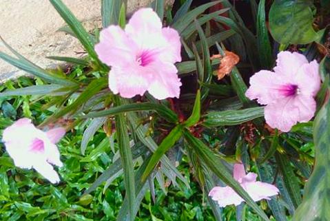 Pink Ruellia